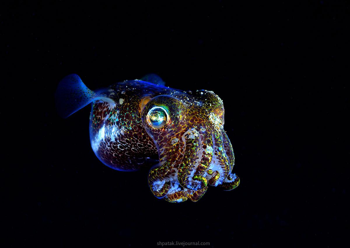 Филиппины. Анилао. Ночь у причала рыбного рынка. кальмар, ночных, Berry&039s, процессе, осьминог, двухстворчатый, кроме, пермещаемый, пространстве, здесь, темноте, старта, темноту, Некоторые, кокосовые, осьминоги, эстеты, выбирают, прозрачное, жилье