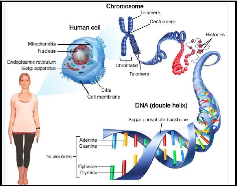 Bentuk telomer kromosom tubuh manusia