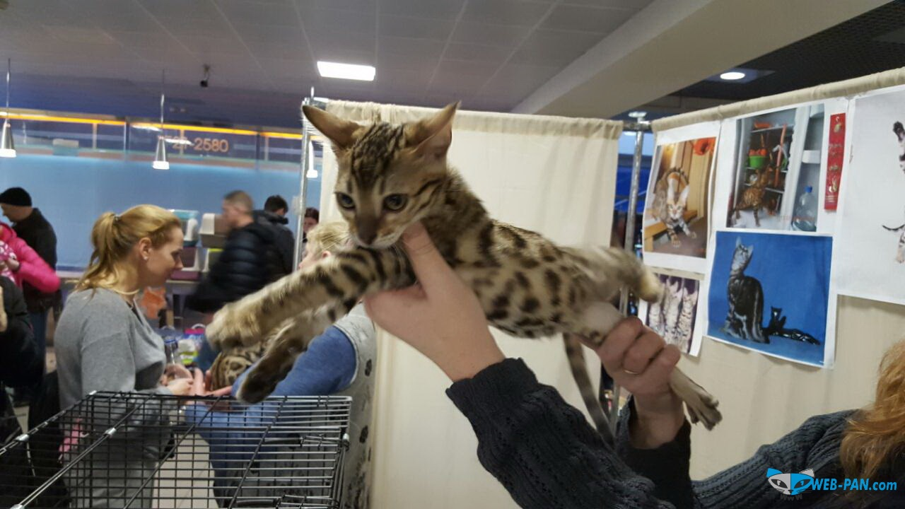 Бенгальский котик. Фото 1