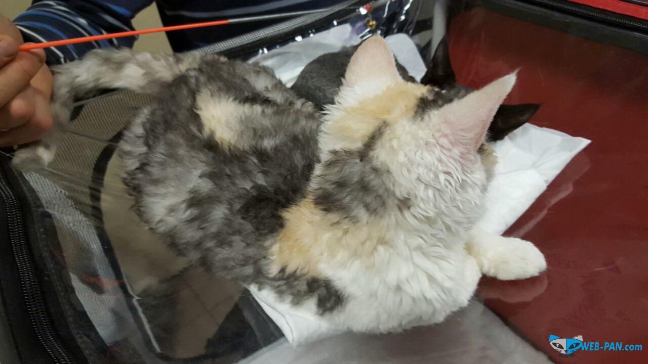 Ещё котик, гипо- аллергенный - для тех, кому мешает шерсть!!