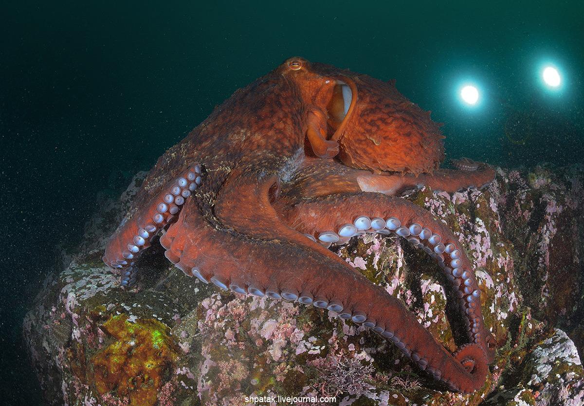 вот осень осьминог дофлейна фото возникают, когда болезнь