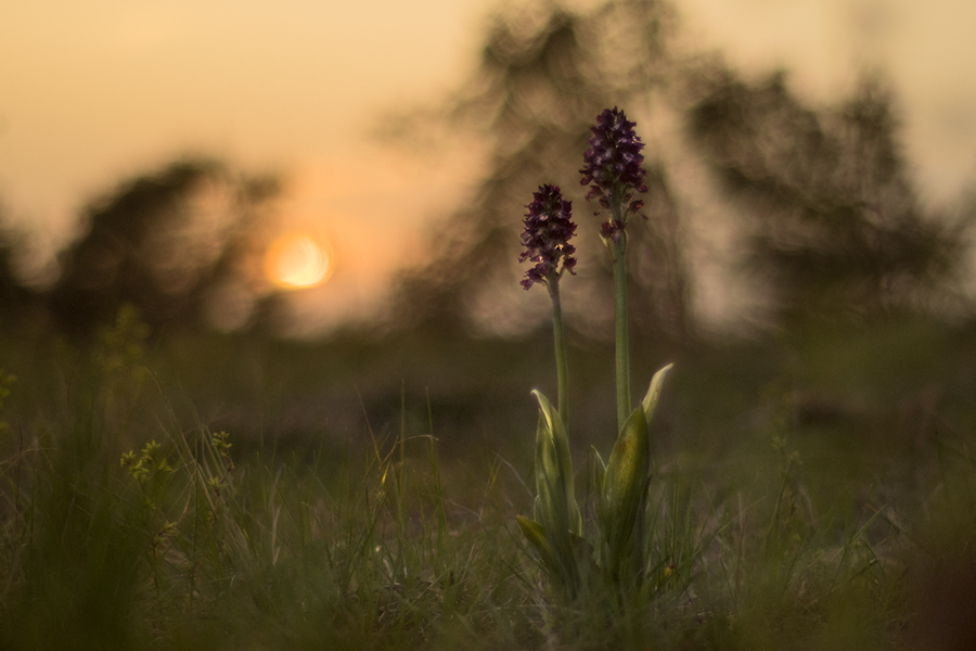 """35.- """"Orchis purpurea"""" - RamonFc"""