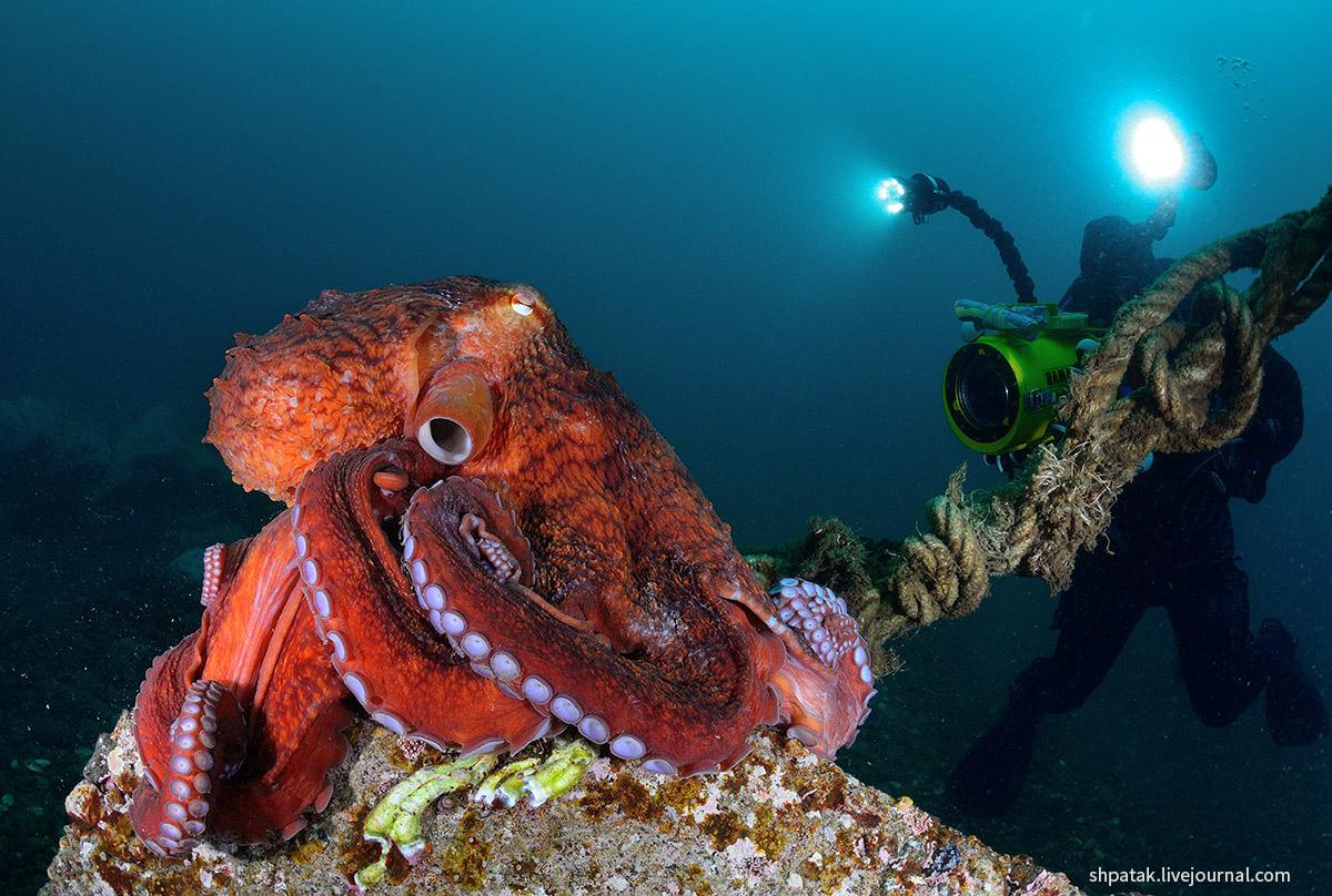 Дайвинг на севере Приморья. Бухта Рудная. Большие осьминоги.