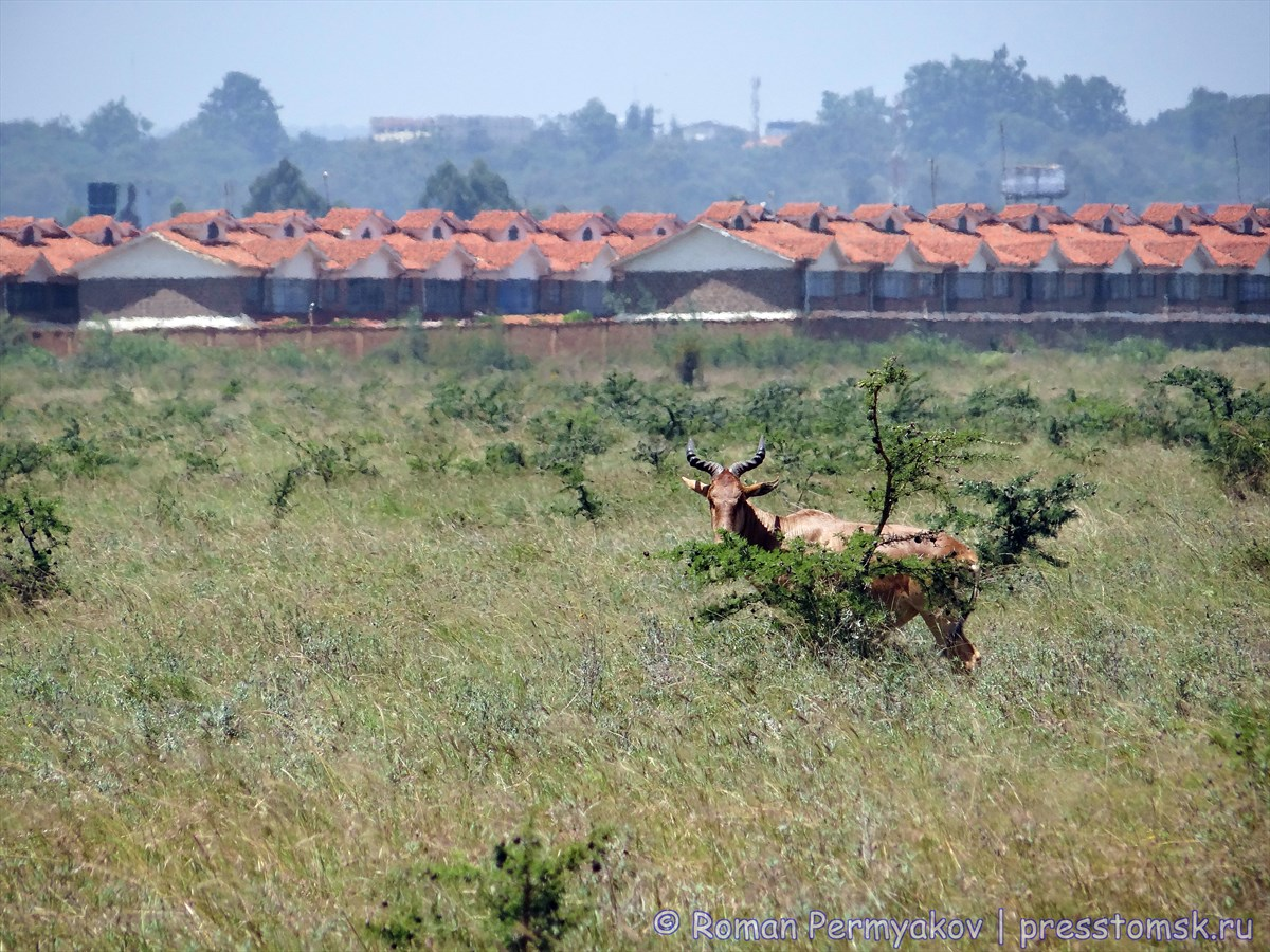 Антилопа на фоне построек Найроби