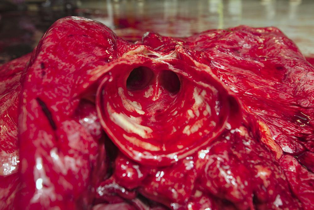 Hevosen-henkitorvi-haarautuu-keuhkoputkiksi