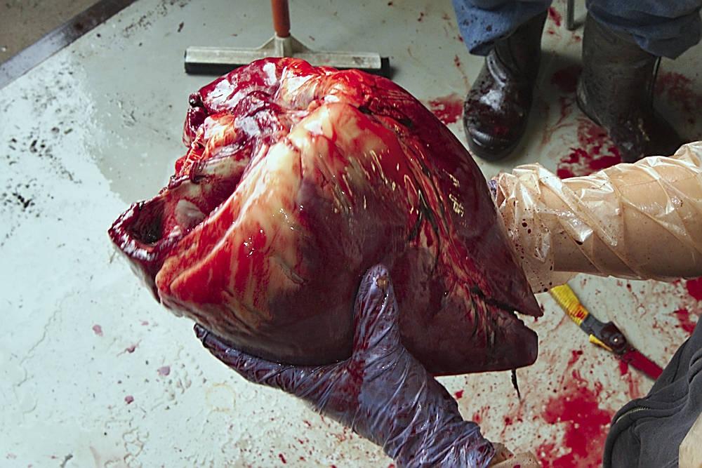 Hevosen-sydän