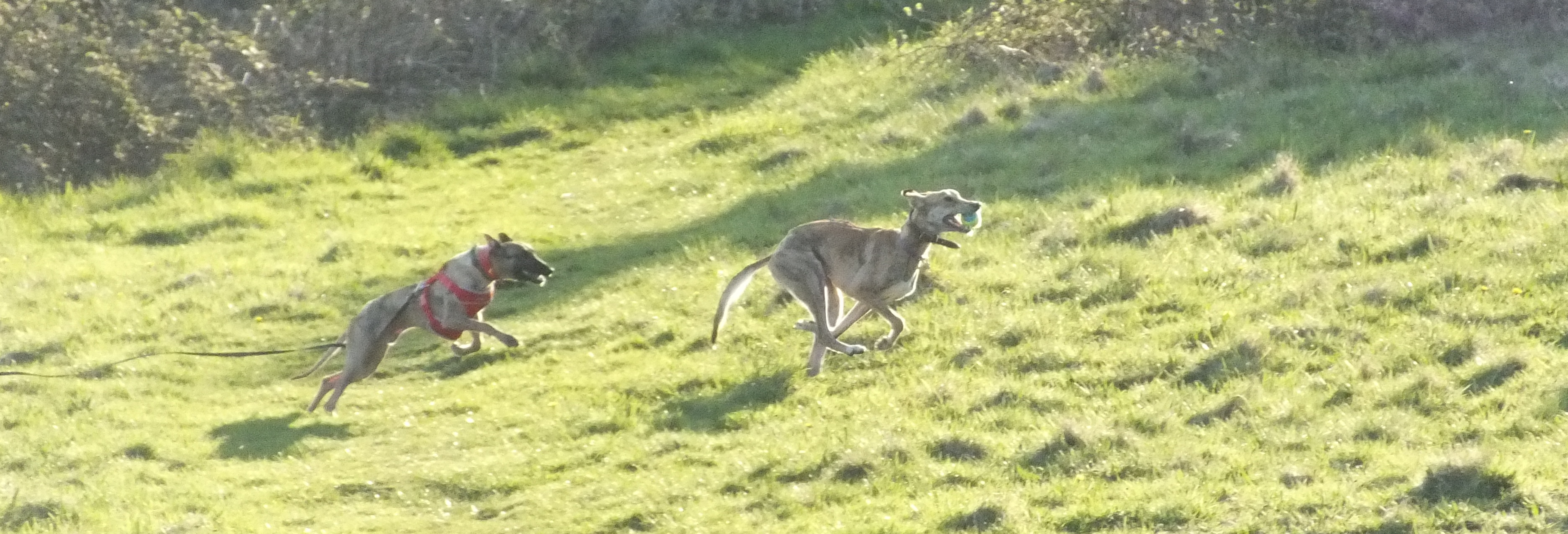Alex & Millie chasing in the fields