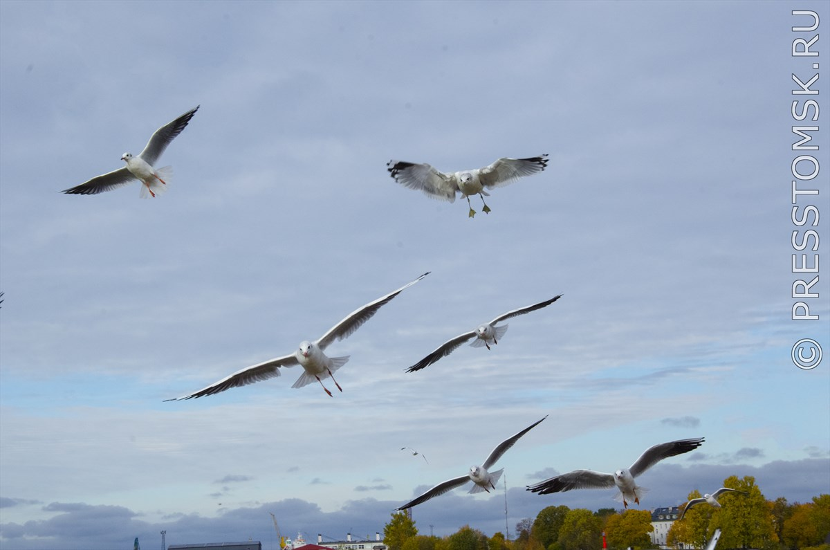 Чайки Балтийского моря