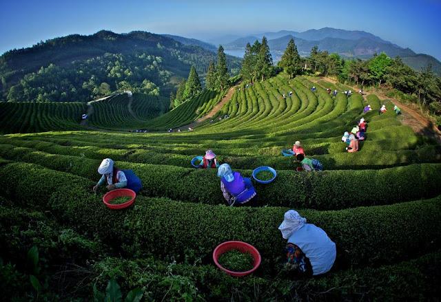صور مزارع الشاي الاخضر الطبيعي في كوريا 2013 - صور طبيعية - صور بلدان