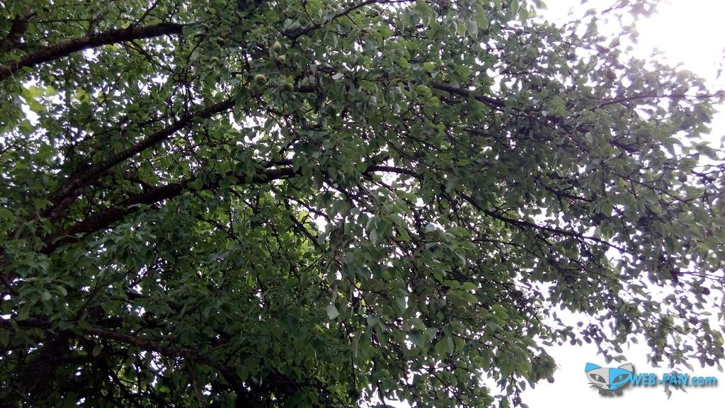 Фото с дачи, грушевое дерево, яблок тоже много!