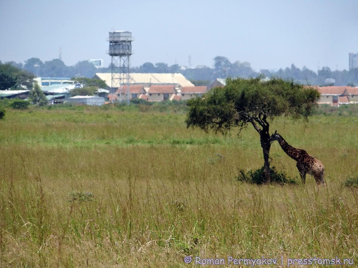 Жираф на фоне построек Найроби
