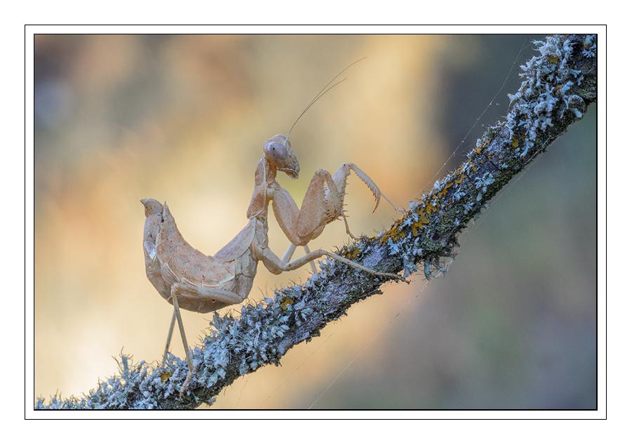 """10.- """"Mantis (reposición)"""" - RamonFc"""