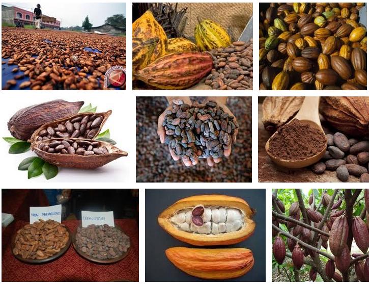 Biji Kakao Indonesia. Sumber Image Google