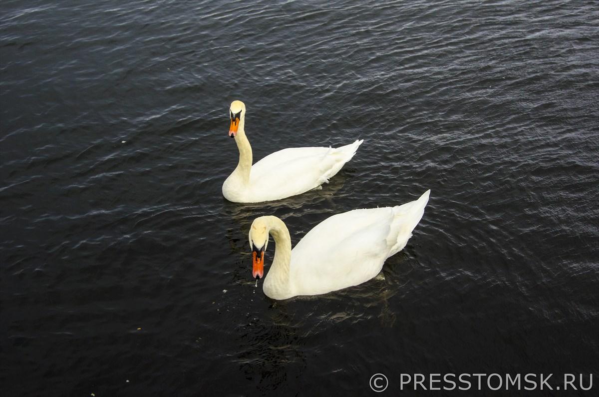 Лебеди в Рижском заливе