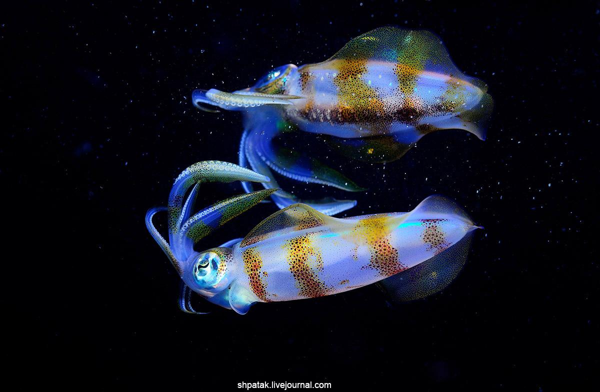 2017. Филиппины. Анилао. Рифовые кальмары у поверхности. фоточки, выложить, кальмаров, ноября, Искренне, сегодня, Захотелось, кальмар, рифовый, поверхности, Никон, Д800Никкор, Длинноплавниковый