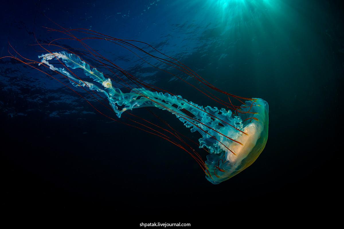 2020. Дайвинг на севере Приморья. Бухта Рудная. Компасные медузы.