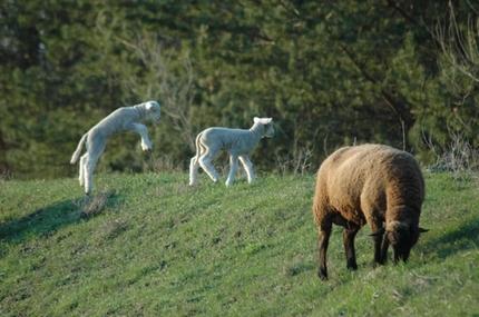 Sheep. Jumping.