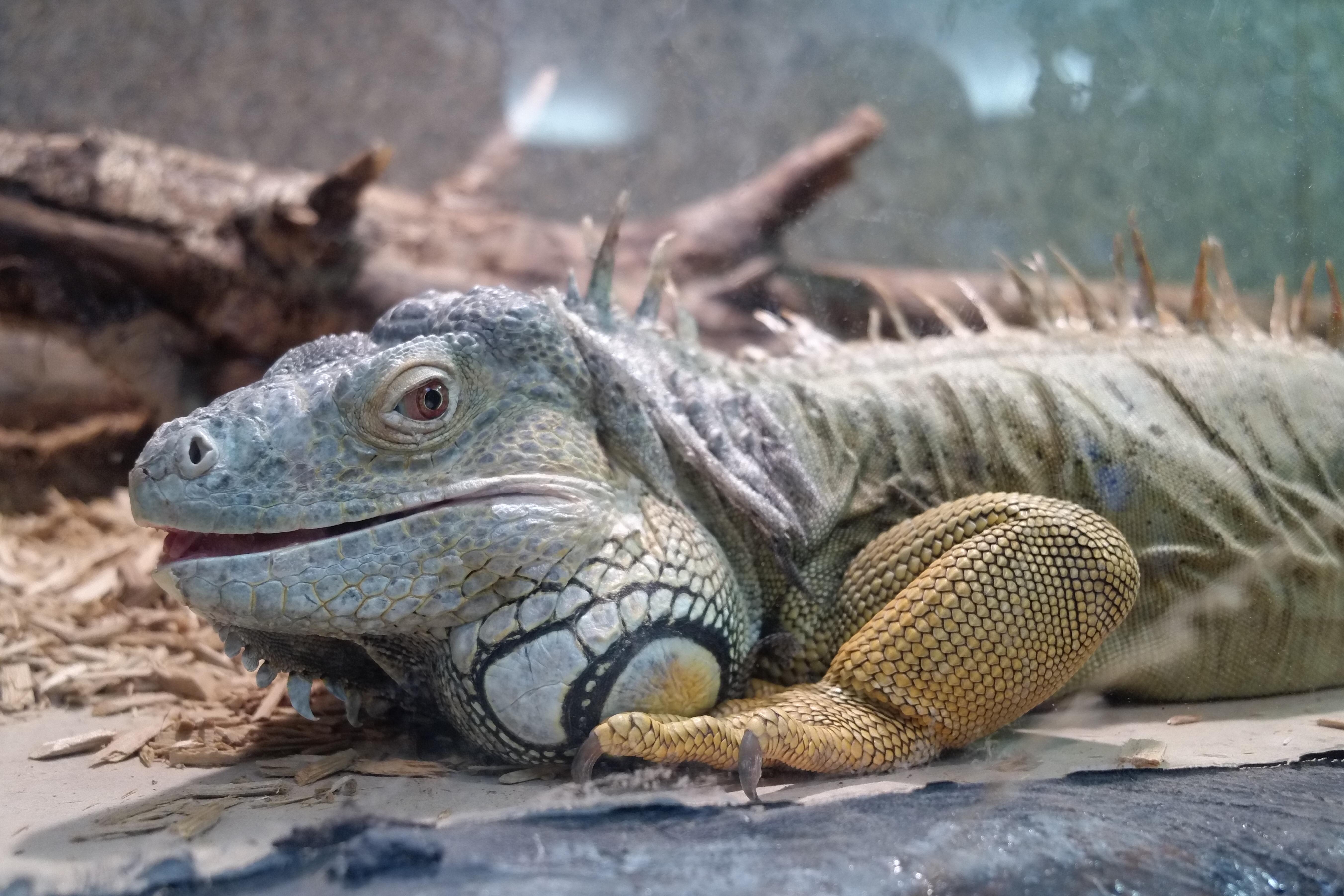 Posing iguana