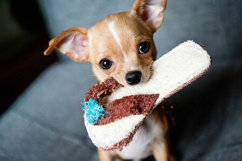 Cute puppy with slipper
