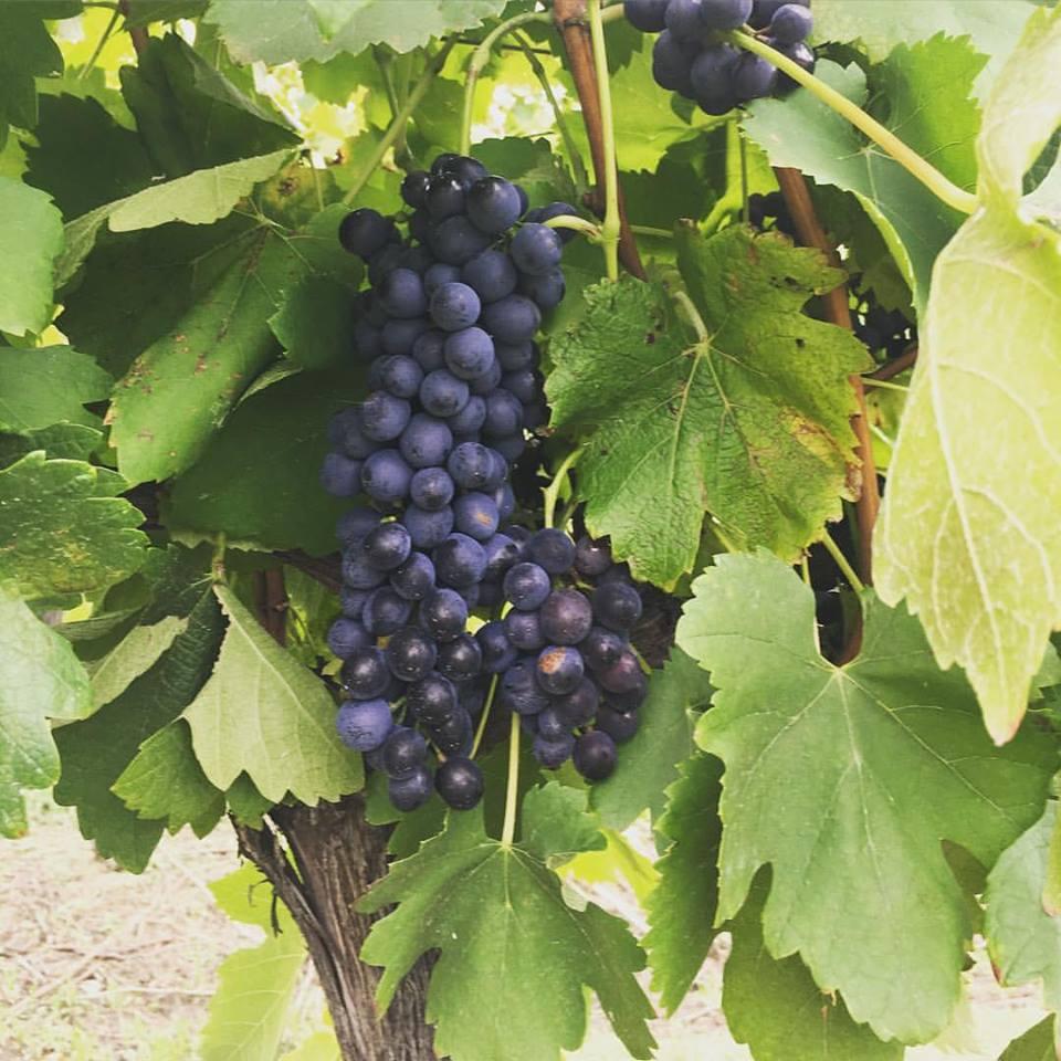 Shiraz grapes