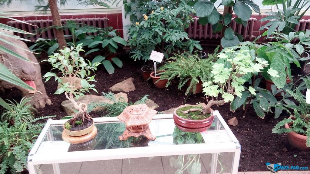 Бонсаи на выставке - фото 4