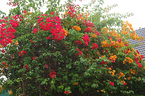 Flowering Fueng-Fa