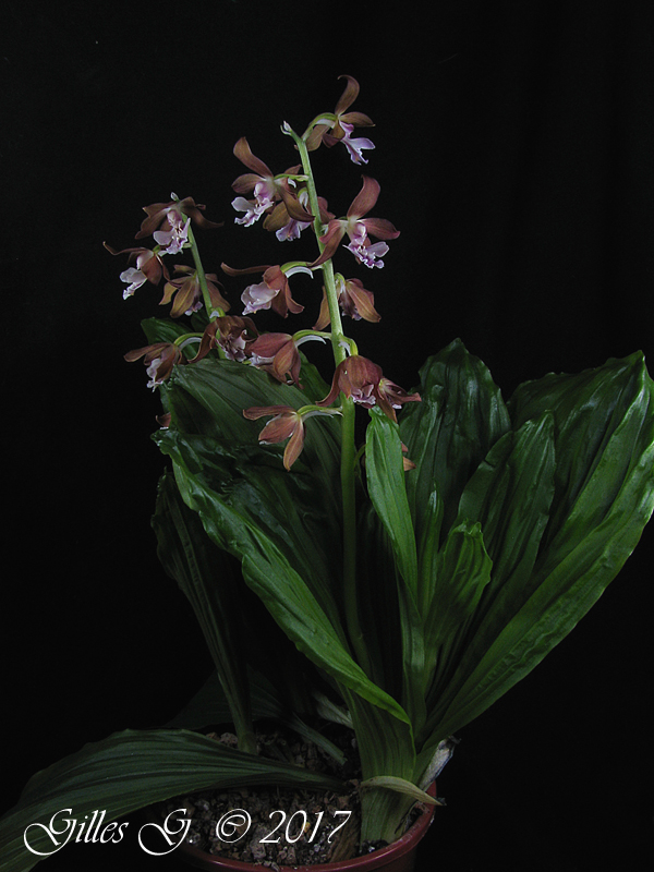 Calanthe hybride Calanthe%20hybride