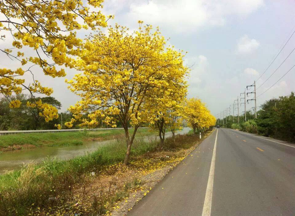 Yellow Cassia bakeriana trees