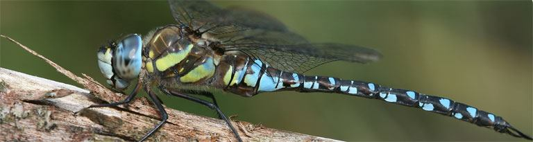 Blaugrüne Mosaikjungfer, männlich, Luggi Knobel