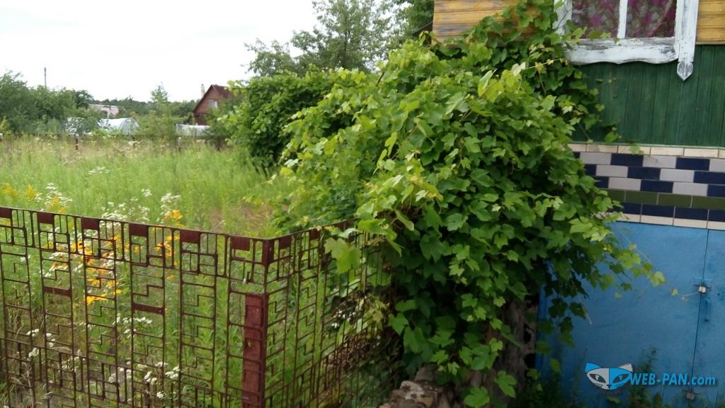 Дача, виноград оплетает дом. Фото 1