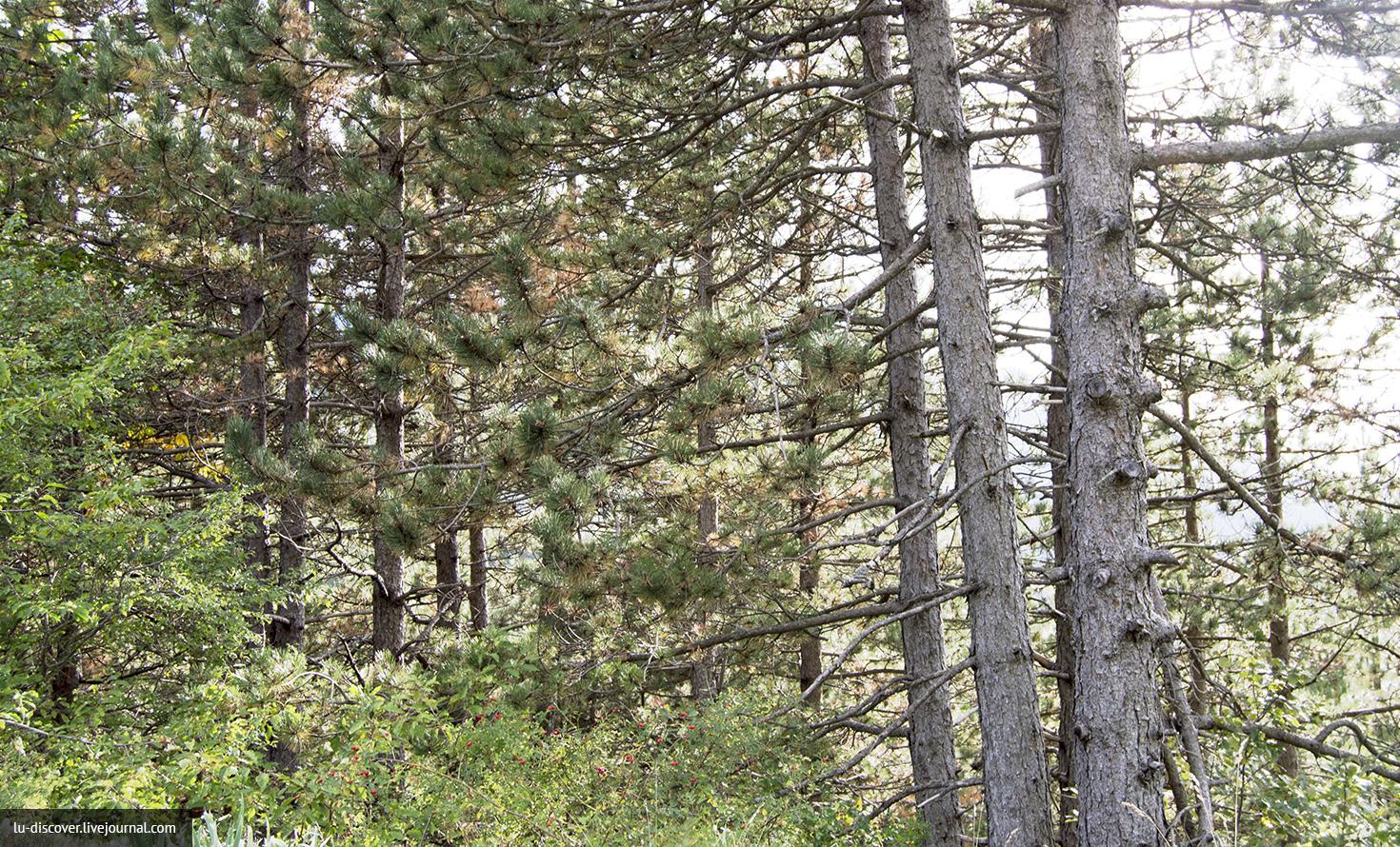 Сосновый лес, сосновый аромат по дороге в Негуши, удивительно чистый воздух в маленькой деревушке в горах
