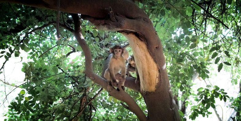 Berberaffe Berber monkey