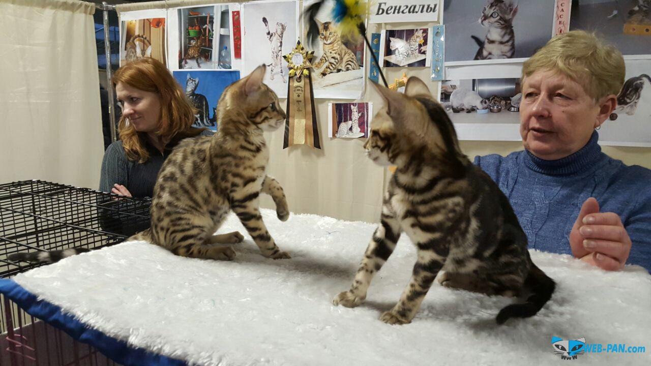 Бенгальский Котёнок, просто шикарен - 500 у.е. и он полностью Ваш!