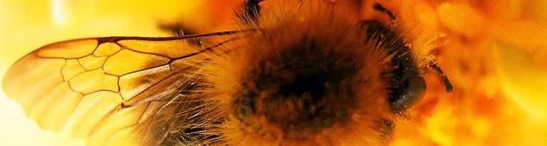Honigbiene, Michaela F.