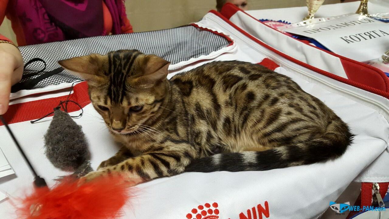 Бенгальский котик. Фото 2