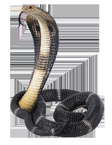 Pourquoi les mecs ici Cobra